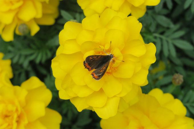 16_黄色いお花と蝶々