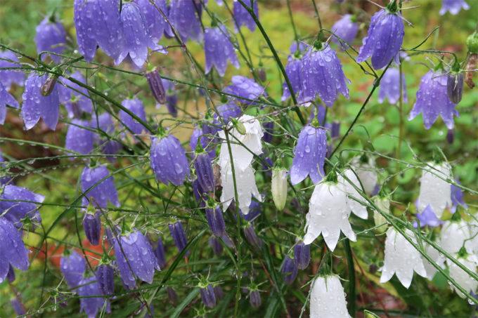 83_お花と水滴もキレイ