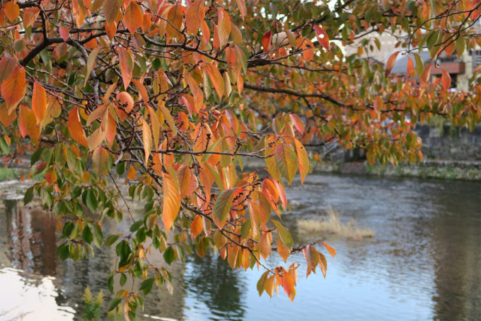 29_紅葉の桜と浅野川