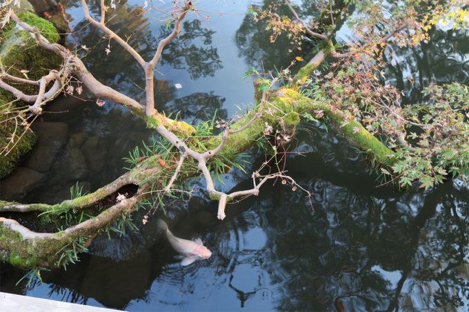 43_川にひたる枝の美しさ+鯉