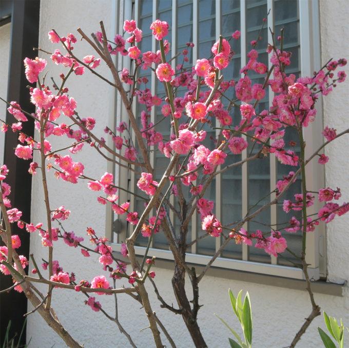 29_紅梅も咲く節分かな