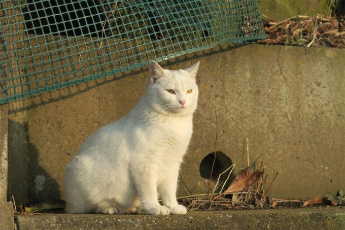 白い猫in牛久沼