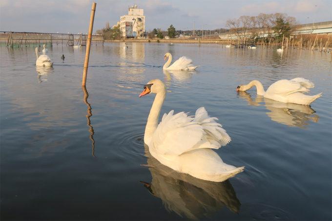 白鳥がいっぱい!