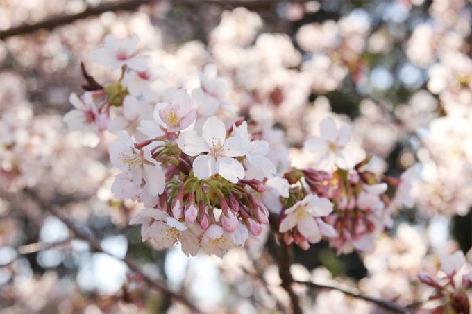 川崎市の玉縄桜