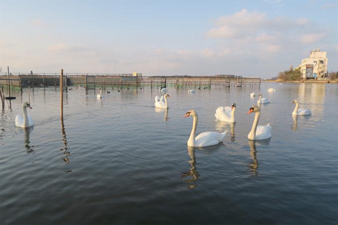 白鳥たちin牛久沼