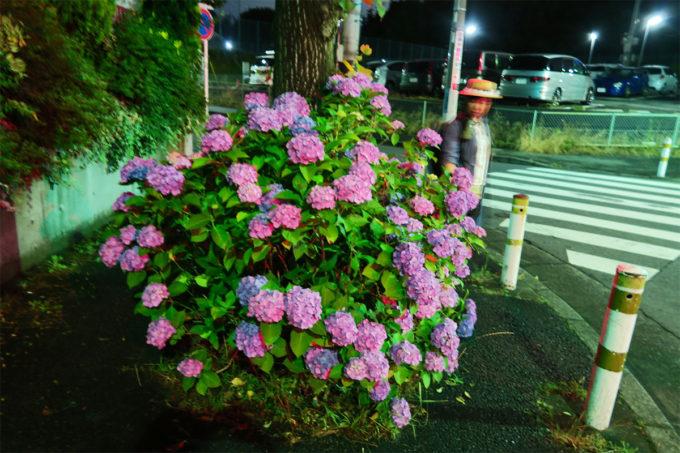 夜中の紫陽花