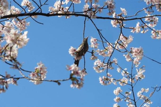 玉縄桜とヒヨドリ