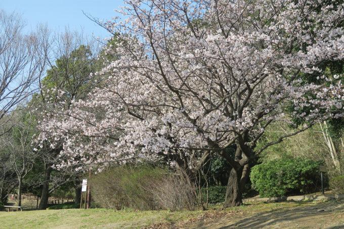 玉縄桜が咲いたよ