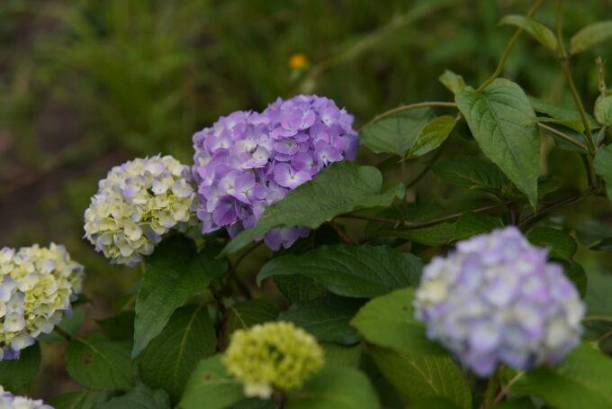 2021年咲き始めの紫陽花